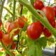Выращивание кустовых томатов