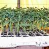 Выращивание ранних сортов томатов