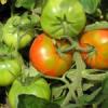 Пасынки на томатах