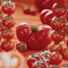 Подготовка семян томатов