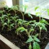 Посев и уход за рассадой сладкого перца