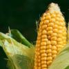 Кукуруза: немного о применении и выращивании