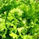 Как получить три оборота салата в открытом грунте?
