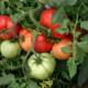 Выращивание томатов: как формировать кусты