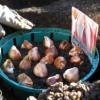 Осень – пора сажать тюльпаны