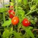 Как и когда пасынковать томаты?