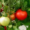 Ранний урожай томатов