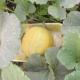 Как выращивать дыни в средней полосе?
