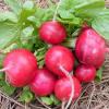 Как вырастить редиску, чтобы получить от нее семена?
