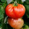 Томат: плоды