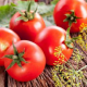 От чего страдают помидоры