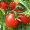 Немного пообщаемся о помидорах