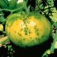 Белая и черная пятнистость томатов