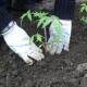 Высадка рассады помидоров в грунт