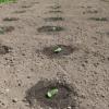 Посадка тыквы в открытый грунт