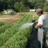 Как часто поливать помидоры?