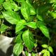Особенности выращивания рассады болгарского перца