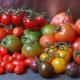 Выбор сорта томатов