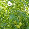 Если помидоры жируют
