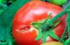 Почему трескаются томаты в теплице?